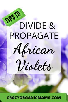 Learn the easy step-by-step way to divide African violet plants and propagate new plants simply from just a leaf cutting. Organic Gardening Tips, Indoor Gardening, Outdoor Gardens, Easy Care Houseplants, Violet Plant, Plant Crafts, Growing Plants Indoors, Vertical Garden Diy, House Plant Care