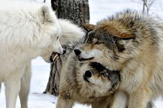 Wolf Fight! By jeanniepaul.  Ely, Minnesota
