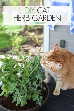 Herbs for a cat garden. A step-by-step tutorial for creating a DIY cat herb garden. Includes feline-friendly herbs that your cat will love to snack on including lemon grass, mint, catmint, catnip, thyme and more! Culture D'herbes, Cat Plants, Cat Safe House Plants, Easy House Plants, Cat Grass, Grass For Cats, Cat Garden, Garden Grass, Diy Herb Garden