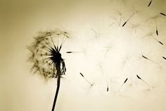 the simple pleasure of blowing a dandelion #Sarjaton