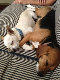 BFP (Beagle Freedom Project) rescue, Belle, & her foster brother Branson are just too precious.