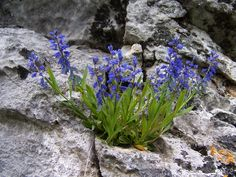 Krestušac - common milkwort of uncommon beauty Collective Identity, Wild Flowers, Plants, Bitter, Alps, Croatia, Beauty, Sprouts, Wildflowers