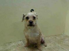 SAFE --- URGENT - Brooklyn Center    BETTY - A0991274   FEMALE, CREAM, CAIRN TERRIER / PUG, 5 yrs  STRAY - STRAY WAIT, NO HOLD Reason STRAY   Intake condition NONE Intake Date 02/07/2014, From NY 11433, DueOut Date 02/10/2014 https://www.facebook.com/Urgentdeathrowdogs/photos_stream
