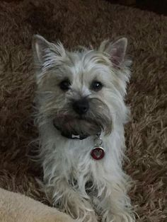 Cairn Terrier Fan Club on Facebook