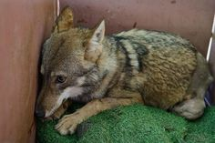 This Wolf Was Hit By A Car And Left To Die. What Happened Next Is So Touching.