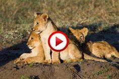 Lion cub gives his best roar #lions, #videos, #videobox, #pinsland, itunes.apple.com/...
