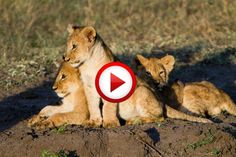Lion cub gives his best roar #lions, #videos, #videobox, #pinsland, itunes.apple.com/...