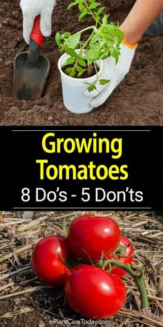 Tomato Growing 8 Do's and 5 Don'ts is part of Organic vegetable garden - Overtime we all learn tips and tricks which help us grow our vegetables Here are some do's and don'ts about tomato plant care [LEARN MORE] Growing Tomatoes In Containers, Growing Veggies, Growing Plants, Growing Tomatoes From Seed, Growing Zucchini, Growing Eggplant, Growing Tomatoes Indoors, How To Grow Zucchini, Growing Vegetables In Pots