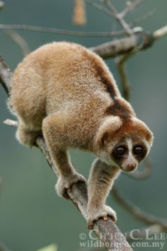 Facts of a slow loris (Nycticebus coucang)