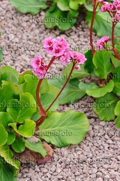 KGA: Bergenia cordifolia 'Doppelgänger' (I have these in my garden. The leaves become a lovely red in winter). Good for the edge of the boarder. Combine with colchicum for a nice autumn combo.