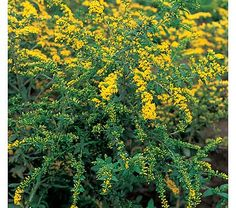 Solidago Fireworks - White Flower Farm. And yes, this is also called goldenrod.