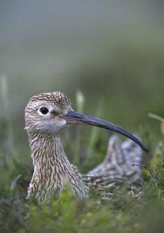 curlew    ..z