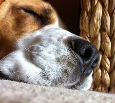 Love this beagle nose