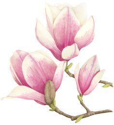 https://flic.kr/p/gVccCU | Magnolia | Magnolia illustration. An illustration for Australian House & Garden magazine July 2013. © Allison Langton