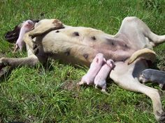 these piggies think the dog is their mommy!!!!