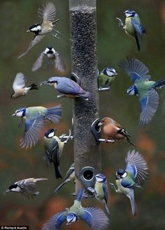 A birdwatcher's dream: Amazing montage photograph captures array of birds visiting a feeder over The photograph was released by the Royal Society for the Protection of Birds as part of their Big Garden Birdwatch, now in its year. Pretty Birds, Love Birds, Beautiful Birds, Animals Beautiful, Small Birds, Beautiful People, Exotic Birds, Colorful Birds, Exotic Pets