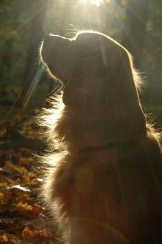 Beautiful Maggie Comfort Dog. Gorgeous Golden Retriever silhouette.