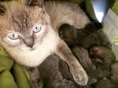 meine Lilly so stolz auf die Katzen Mama besser kann man es garnicht machen #britishshorthair #colorpoint #blueeyes #catsofinstagram #lovecats #britishcat #kittycat #babys #love #leben #stolz #wunderdeslebens