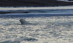 The beluga whales have finally arrived in Cunningham Inlet. #beluga #whale #research #Arctic #Aquarium