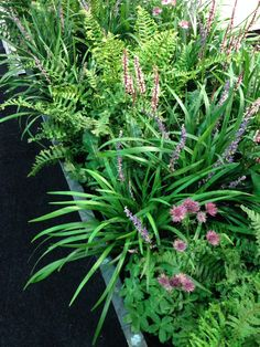 Liriope and astrantia and ferns back garden troughs ( left side) Garden Troughs, Ferns Garden, Rain Garden, Garden Trees, Shade Garden, Outdoor Landscaping, Outdoor Plants, Plant Design, Garden Design