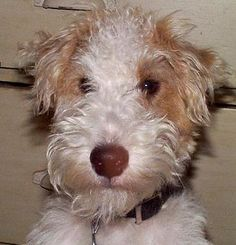Wire Hair Fox Terrier ~Love that big black nose and unruly hair!