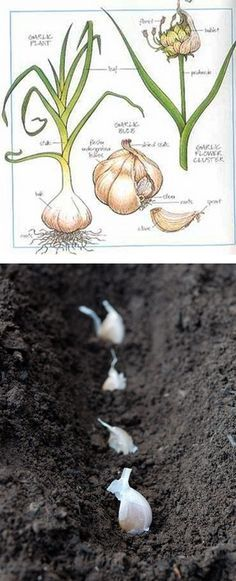 The Backyard Garden: How to grow and harvest garlic How to Harvest : Always dig your garlic, never try and pull it. You may have planted a small clove, but the bulb is now several inches deep with a strong root system.