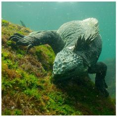 Diving in the Galapagos: Marine Iguana, Galapagos Islands. This is the only marine species of iguana and can only be found in the Galapagos Islands.