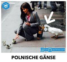 Polnische Gänse-Familie beim Klauen erwischt - Tierwitze, Lustige Tiere