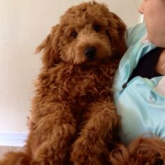 Our Golden doodle puppy Kevin!
