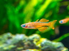 This blue eye dwarf rainbofish is very rare, and it is one of the most vibrantly colored and exceptional of this great family of nano fish! Tropical Fish Aquarium, Freshwater Aquarium Fish, Planted Aquarium, Tropical Freshwater Fish, Fish Aquariums, Aquatic Arts, Neon Tetra, Floating Plants, Rainbow Fish