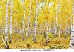 birch forest early autumn - Google Search