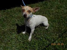 TITO (A1722983)	I am a male white and brown Chihuahua - Smooth Coated.  The shelter staff think I am about 1 year old.  I was found as a stray and I may be available for adoption on 09/10/2015.	2015.09.03 Miami-Dade Animal Services at (305) 884-1101