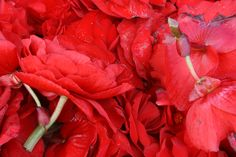 Begonia's for Festival floats. California Beach, Begonia, Stuffed Peppers, Vegetables, Lifestyle, Santa Cruz, Stuffed Pepper, Vegetable Recipes, Stuffed Sweet Peppers