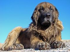 The estrela mountain dog, closely related to the leonberger, is a rescue dog, meaning it rescues people from snow, rocks, or if trapped. It is very strong, and powerful, loyal and kind. It is gentle and graceful, and makes a very good family dog. It does have high dander, and does shed a lot, so beware of that