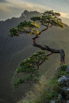Photograph Mountain bonsai by Michał Połowiński on Relict , 500 year old pine on Sokolica in Pieniny taken at sunset. Landscape Photography, Nature Photography, Weird Trees, Plantas Bonsai, Unique Trees, Bonsai Plants, Bonsai Trees, Nature Tree, Nature Wallpaper