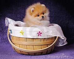 Pommie in a Basket