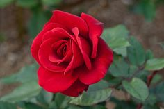 Seeds new rare Strong Fragrant Red Rose Flower Big Blooming Garden Rose plants Strong Fragrant Red Rose Flower Seeds 1 Professional pack, 50 seeds Zones Germination rate: Red Rose Flower, Beautiful Rose Flowers, Red Flowers, Beautiful Flowers, Flowers Gif, Flower Plants, Flowers Garden, Simply Beautiful, Rose Reference