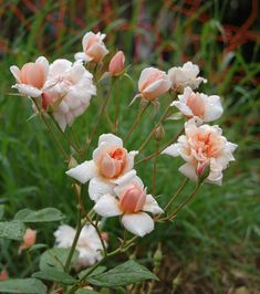 Rose Perle d'Or - Polyantha - Apricot take on Cécile Brunner. Strong fragance, reflexed bloom form, almost thornless, very hardy. http://www.heritagerosefoundation.org ©jedmar