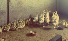 un'anatra chiede ad un'altra anatra: dove vivi? e l'altra risponde: ...QUA!  An italian play of words.  #ducks #geese