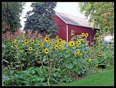 Sunflower Garden Ideas fence garden Sunflower Garden Still Looking For A Way To Stake Them That Looks Good In