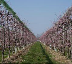 Pfirsichplantage nahe Savigliano, Piemont