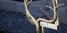 Formez votre pommier en U: comment choisir le scion ? le planter et le tailler la 1ère année