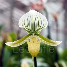 Slipper-Orchid: Paphiopedilum Maudiae is a warm growing, mottled-leaved type of orchid ideal for beginners Types Of Orchids, Garden Illustration, Orchidaceae, Potting Soil, All Plants, Houseplants, Garden Pots, Slipper, Beautiful Flowers