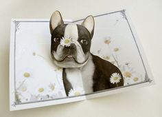 Pushing Up Daisies Boston Terrier Pop Up Card by Crankbunny