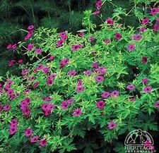 Image result for geranium psilostemon