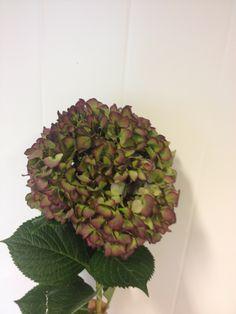 Hygrangea- Hortensia