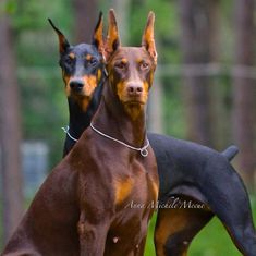 #Dobermans   Love the dobies!