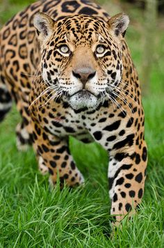 beautiful jaguar!