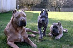 Cane Corso Puppies For Sale. Cane Corso Italian Mastiff, Cane Corso Mastiff, Cane Corso Puppies, Cane Corso Dog, Really Big Dogs, Huge Dogs, I Love Dogs, Cane Corso Kennel, Funny Animals