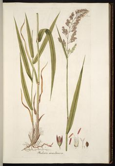 Reed canary grass drawing
